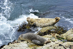 Two harbor seals Stock Photography