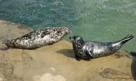 Two harbor seals resting on the rock Stock Photography