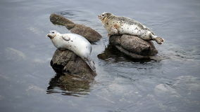 Two Harbor Seals Sitting On Rocks Looking Around stock footage