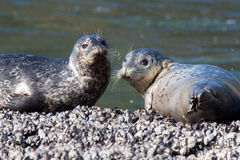 Two harbor seals. Stare right into the camera on a bed of mussels Stock Photo