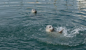 Two Harbor Seals Swimming and Splashing Royalty Free Stock Photography