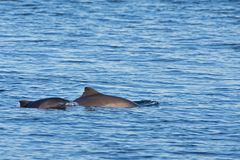 Female harbour porpoise and it`s young stock photography