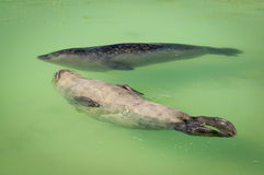 Two harbour seals swimming in basin Royalty Free Stock Photography