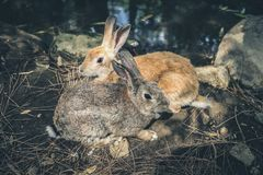 Two hares grey and red sitting pressed against each other on bank lake. Dark toned image royalty free stock image