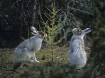 Two hares nibbling on small tree Royalty Free Stock Images