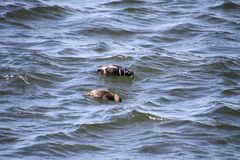 Two Harlequin ducks searching for food stock image
