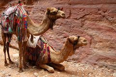 Two harnessed camels in Petra against the background of the rock stock images