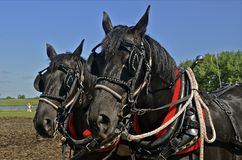 Two harnessed horses Royalty Free Stock Photo