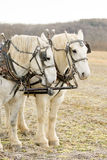 Two Harnessed Percheron Draft Horses Stock Photo