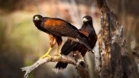 Two harris hawks perched on branch up close parabuteo unicinctus royalty free stock images