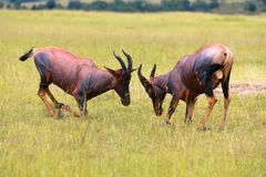 Two hartebeests fighting at the masai mara Stock Photo