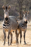 Two Hartmann Mountain Zebras Royalty Free Stock Photo