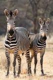 Two Hartmann Mountain Zebras Royalty Free Stock Photo