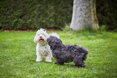 Two havanese dogs playing on the grass in the garden Stock Image