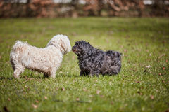 Two havanese dogs playing in the park Royalty Free Stock Images