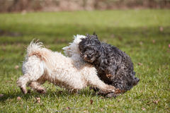 Two havanese dogs playing in the park Royalty Free Stock Photography