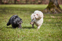 Two havanese dogs playing in the park Stock Photos