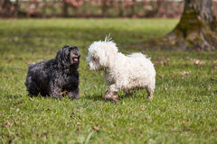 Two havanese dogs playing in the park Royalty Free Stock Photos