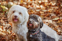 Two havanese dogs sitting in forrest in autumn Stock Images