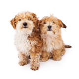 Two Havanese Poodle Crossbreeds Royalty Free Stock Photos
