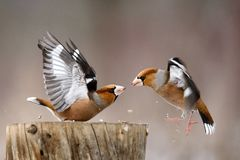 Two Hawfinch Coccothraustes coccothraustes fight at the feeder stock image