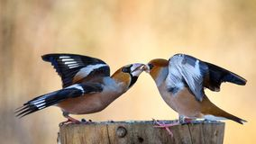 Two Hawfinch Fight At The Feeder Stock Photography