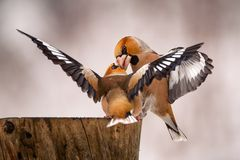 Two Hawfinch fight at the feeder Stock Photo