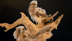 Two hawk on wooden driftwood. Two young chick hawk sitting on a wooden driftwood on a black background stock footage