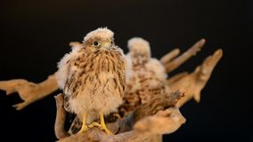 Two hawk on wooden driftwood. Two young chick hawk sitting on a wooden driftwood on a black background stock video