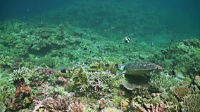 Two Hawksbill turtles on a Coral reef. Two Hawksbill turtles on a colorful Coral reef with plenty fish stock video footage