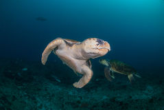 Two hawksbill turtles underwater Royalty Free Stock Image