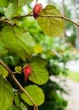 Two hazelnut nuts on a hazel branch royalty free stock image