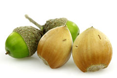 Two hazelnuts and a branch with acorns Royalty Free Stock Photography