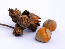 Two hazelnuts with shell. And dried twig with nuts Stock Images