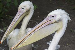 Two head pelicans with long beaks close up.  stock image