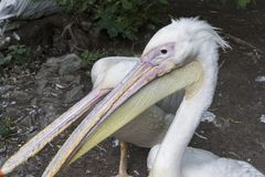Two head pelicans with long beaks close up.  stock photo