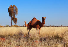 Two-headed dromedary. Two dromedaries, or one dromedary with two heads in Australia stock photo