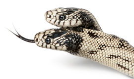 Two headed eastern kingsnake Stock Image