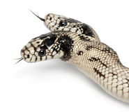 Two headed eastern kingsnake Royalty Free Stock Images