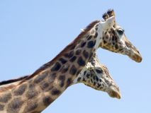 Two headed giraffe?. A closeup zoom shot of the head and neck of two giraffes. Set against a very clean blue sky Royalty Free Stock Photo
