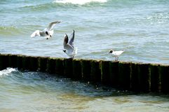 Two headed gulls in the fight Stock Photo