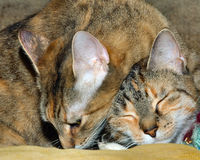 Two headed kitten. Candid shot of two kitten sisters cuddling, one on topthe other looking two headed; humour for cat lovers Stock Images
