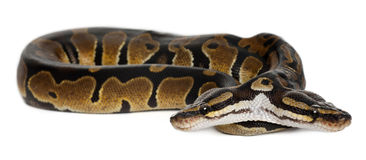 Two headed Royal Python or Ball Python, Stock Images