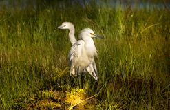 The Two Headed Snowy Egret royalty free stock photo