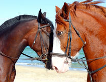 Two heads of beautiful horses Stock Photos