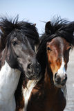 Two heads of beautiful horses Stock Images