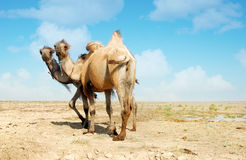 Two heads camel Royalty Free Stock Photography