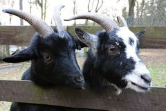 Two heads of goats behind the enclosure. Black and white nosed heads of the bucks behind wooden enclosure Royalty Free Stock Images