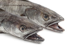 Two heads of Hake fishes Stock Photography