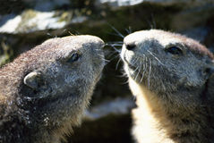 Two heads of marmots face to face. Two marmots face to face like in a mirror, in french alps, france Stock Photos